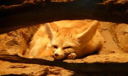 Sahara Desert Animals