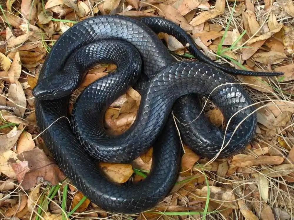 Indigo Eastern Rat Snake