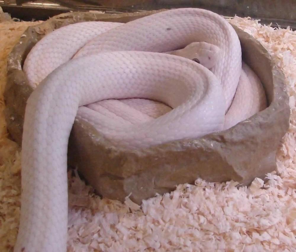 Leucistic Texas Rat Snake
