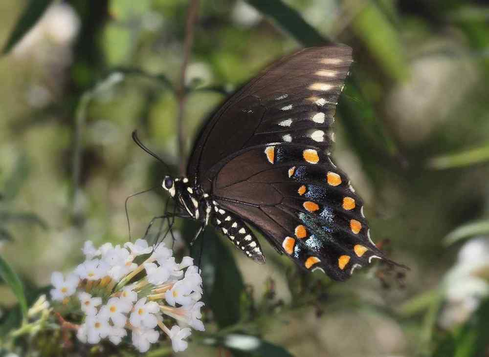 Spicebrush Swallowtails