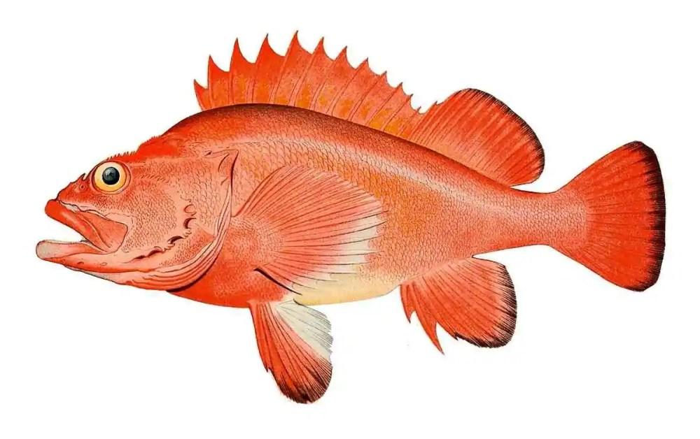 Rougheye rockfish