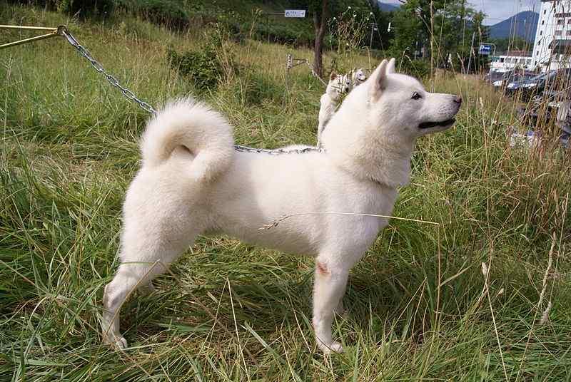 Hokkaido Ken Dog
