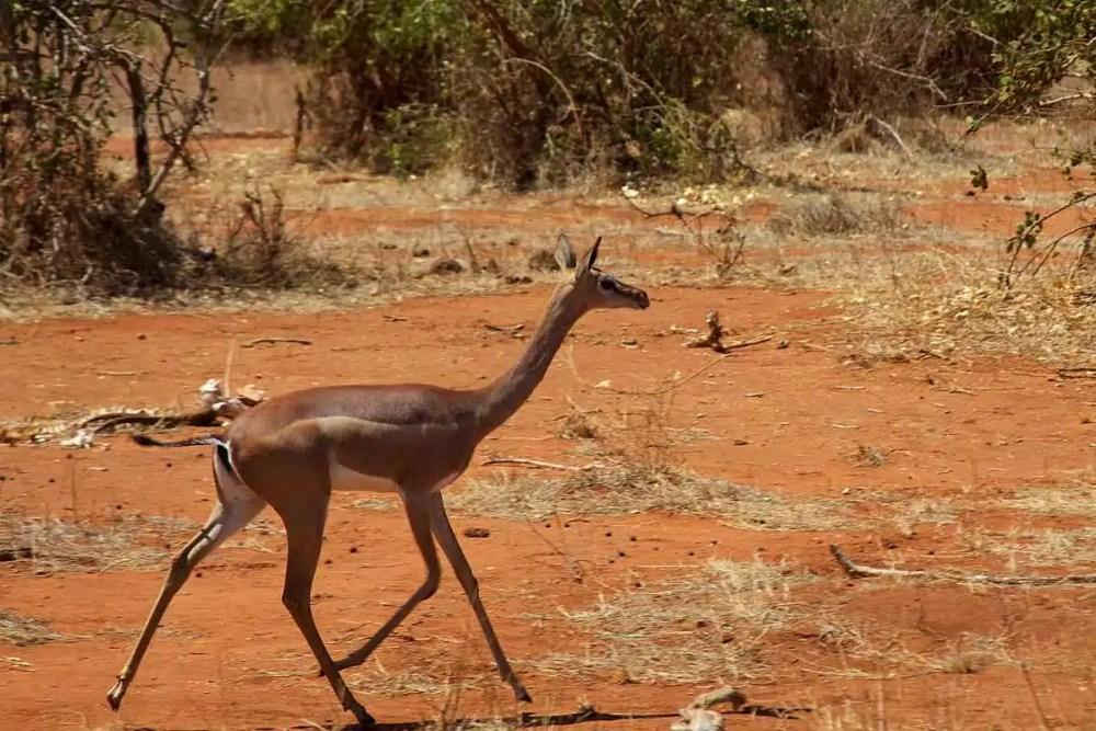The Gerenuk Antelope