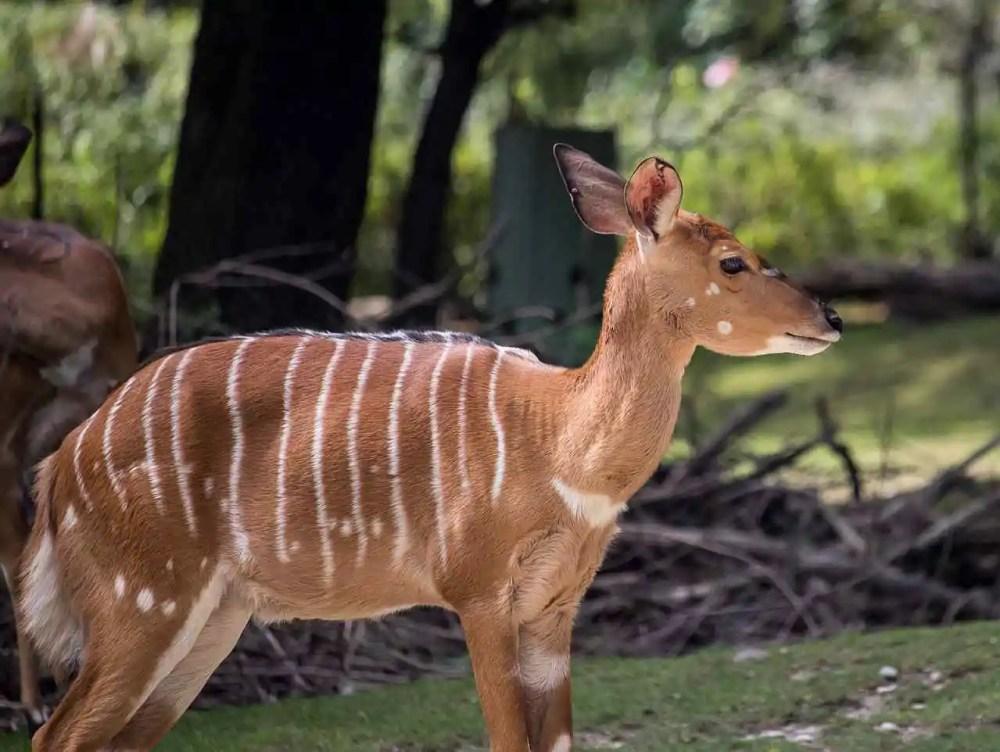 The Nyala Antelope