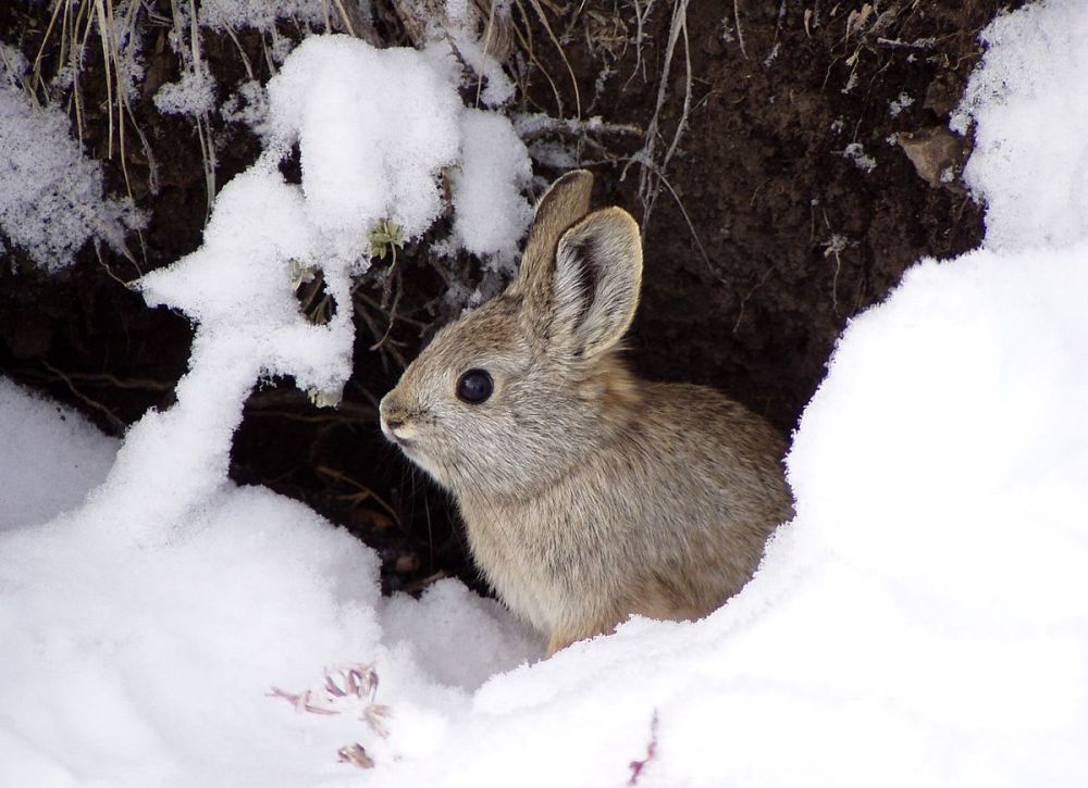 Pygmy Rabbit (Smallest Rabbit)