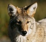 coyote12