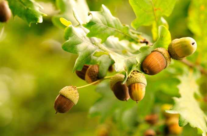 Earthsky Tons Of Acorns In Your Yard It Must Be A Mast Year
