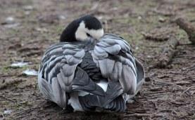 160117 barnacle goose (4)