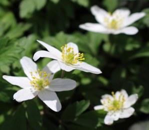 160329 wood anemone (2)