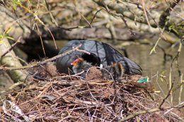 160410 nesting neighbours (6)