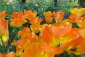160506 tulips (5)
