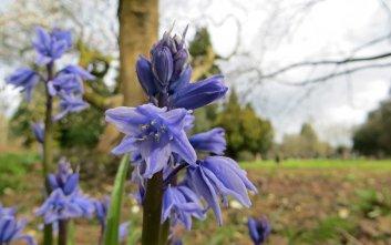 160513 Bluebell Hyacinthoides non-scripta