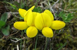 160603 yellow wildflowers (12)