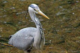 160619 heron fishing (4)