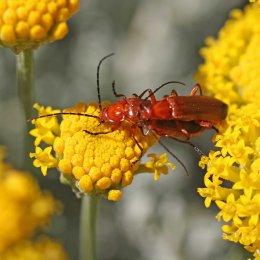 160704 red soldier beetles (2)