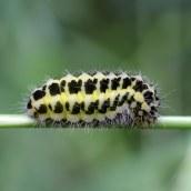 160709 5-spot Burnet caterpillar (3)
