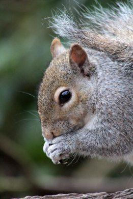 160802 grey squirrel (2)