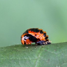 160809 ladybird (6)