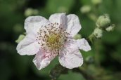 160826 Rubus fruticosus agg (3)