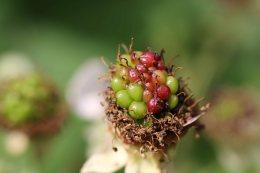160826 Rubus fruticosus agg (8)