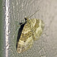 The moths of Cwm Saerbren   earthstar