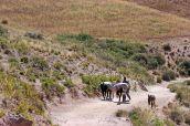 161116-donkeys-peru-5