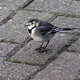 170115-pied-wagtail
