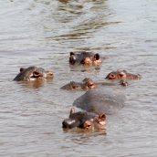 170215-hippopotamus-day-5