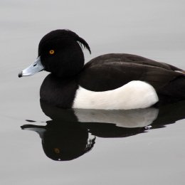 170235-tufted-duck-6