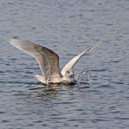 170327 Iceland gull (1)