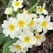 170407 spring flowers (6)