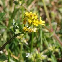 170423 wildflowers in Barry (3)