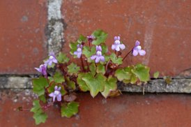 170427 Ivy-leaved toadflax (5)