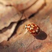 170501 ladybird 18-spot