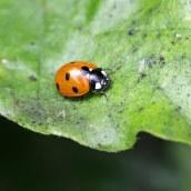 170501 ladybird 7-spot (1)
