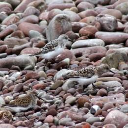 170501 sanderling (2)