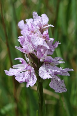 170526 Heath spotted-orchid (2)