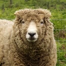 170531 4 sheep