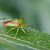 170628 Hawthorn shieldbug Acanthosoma haemorrhoidale