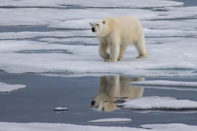 bear sml 400x267 Arctic Warming: Keeping Ice = Saving Climate