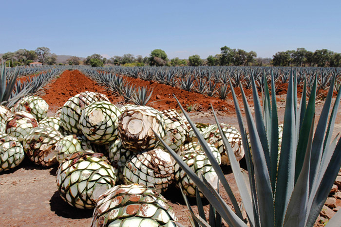 blue agave tequila ocho 700x467 EarthTalk: Questions & Answers About Our Environment