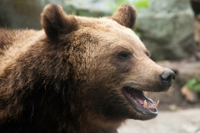 brown bear 400x267 Evolutionary Effect: Hunting Pressures Force Species to Evolve, Adapt