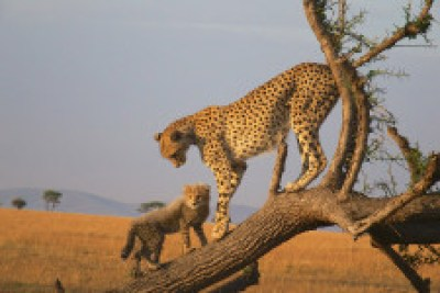 cheetah 225x150 Conservation Genetics to the Rescue