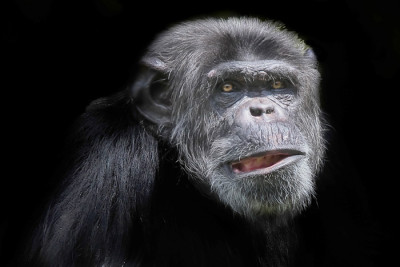 chimp sml 400x267 Do animals have legal rights?