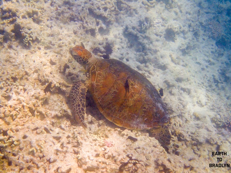 A turtle sits on the reef!