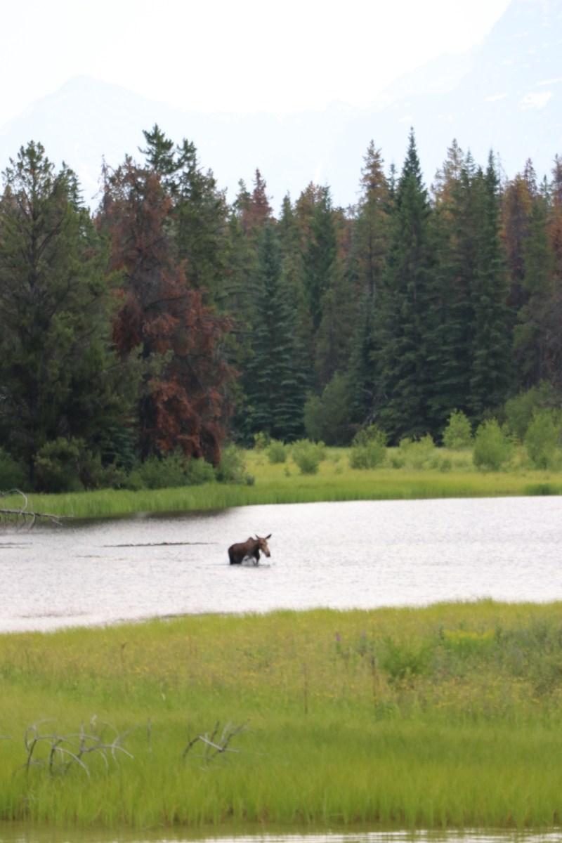 moose in wabasso lake