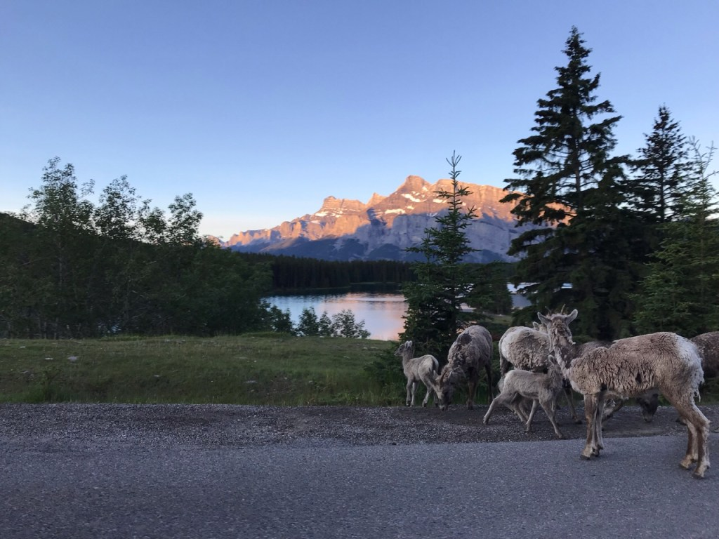 Big Horn Sheep in front of Two Jack Lake