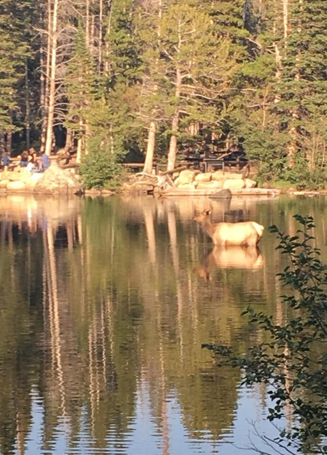 Elk in Bear Lake Rocky Mountain National Park