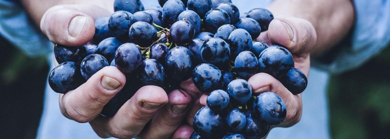 Handful of purple grapes