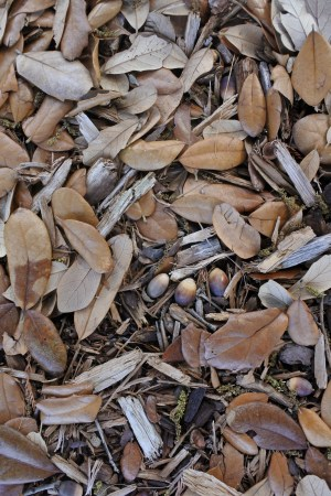 A mulch of wood chips, leaves and acorns cools the soil and helps conserve water under a southern live oak near the Douglass Building on the University of Arizona campus. (Photograph by John Palting)